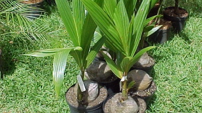How to Grow a Coconut Tree in the Right Conditions