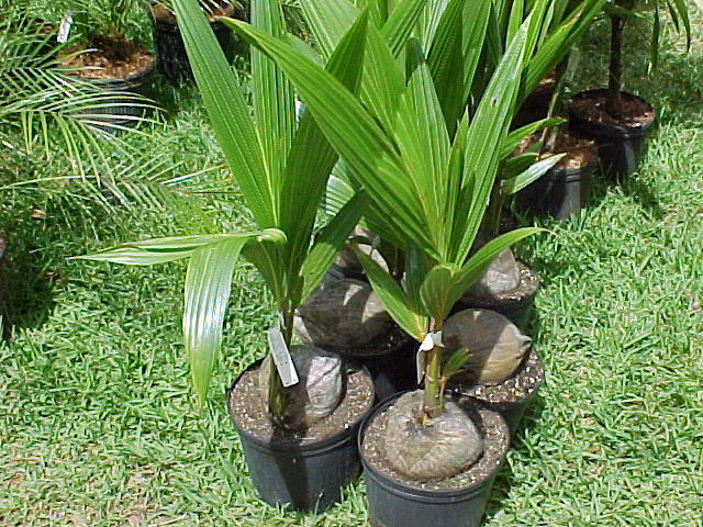 How to Grow a Coconut tree